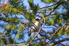 Spring is coming. Brambling sings on pine branch. Bird glorifies spring. brambling (Fringilla montifringilla, male) sings on branch of pine. Territorial and Stock Photo