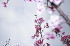Spring is coming,cherry blossoms is blooming. Royalty Free Stock Images