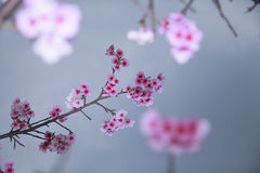 Spring is coming,cherry blossoms is blooming. Stock Photos