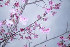 Spring is coming,cherry blossoms is blooming. Stock Images