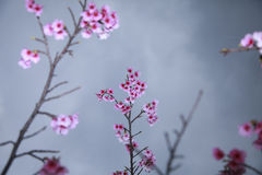 Spring is coming,cherry blossoms is blooming. Royalty Free Stock Photo