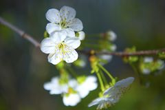 Spring is coming. Cherry flowers. Spring cherry blossoms, white flowers, blurred nature background Stock Photography