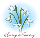 Spring is coming. First spring flowers snowdrops with lettering Spring is Coming. Free font used Stock Photos
