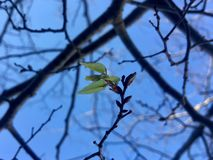 Spring is coming. First leaves in tree at spring arrival Royalty Free Stock Photography