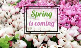 Spring is Coming Message on a Tulips Background Royalty Free Stock Photography