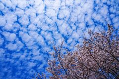 Blue sky full of cherry blossoms royalty free stock photos