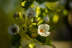 Spring coming! Pear flowers highlighted by sun stock photo