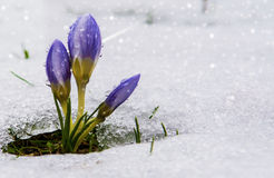 Spring Is Coming. Purple crocuses growing up through the snow in early spring stock image