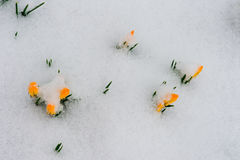 Spring is coming. Snowdrops crocus flowers in the snow Thaw Royalty Free Stock Image