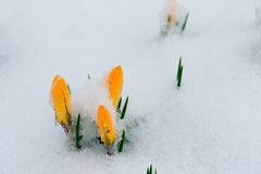 Spring is coming. Snowdrops crocus flowers in the snow Thaw Royalty Free Stock Photos