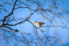 Spring is coming. Thrush Redwing sings on branch, where blossom leaves. Bird glorifies spring. Red-winged thrush (Turdus iliacus) sings on branch, where blossom Stock Photo