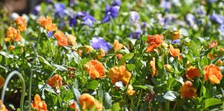 Pansies provide color in winter gardens Stock Photos