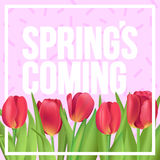 Spring is coming typographic poster with red tulips bouquet. Typographic poster design with flowers Royalty Free Stock Images