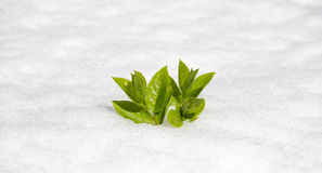 Spring is coming. Winter finishing and spring  is coming by growing plants Royalty Free Stock Photo