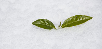 Spring is coming. Winter finishing and Spring is coming by Spring is coming by growing tea leaf from snow Royalty Free Stock Photo