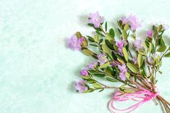 Delicate bouquet of Rhododendron dauricum on light green backgro Royalty Free Stock Photos