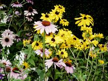 Spring coneflowers royalty free stock images