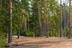 Spring coniferous forest Stock Image