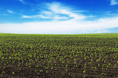 Spring corn field Royalty Free Stock Image