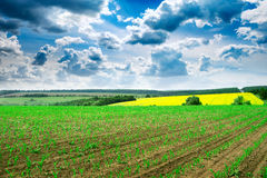 Spring corn field and sky Royalty Free Stock Photography