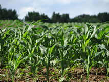Spring Corn Field in Tennessee Stock Photography