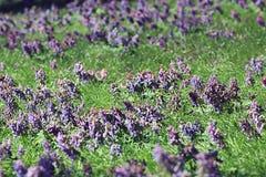Spring Corydalis purple spring flowers wild Royalty Free Stock Photos