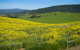 Spring In The Country. Spring in the Californian Sonoma countryside, Mustard flowers, green rolling hills and pasture Stock Photo