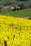 Spring In The Country. Mustard flowers bloom on a sunny day in Sonoma Valley California Royalty Free Stock Photo
