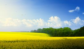 Spring countryside landscape; blue sky over blooming yellow field royalty free stock image