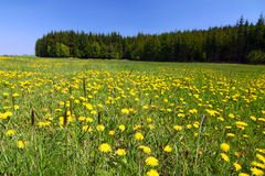 Spring countryside with yellow dandelions Stock Photography