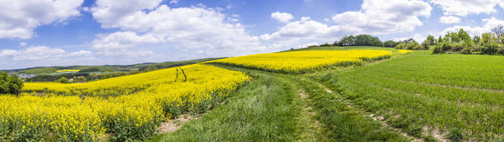 Spring countryside of yellow rapeseed fields in bloom Royalty Free Stock Photo