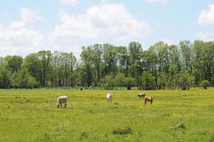 Spring cow field. Cows grazing on field covered with yellow wildflowers royalty free stock photo