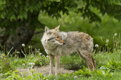 Spring Coyote Stock Photos
