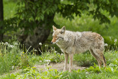 Spring Coyote Royalty Free Stock Photography