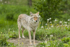 Spring Coyote female Royalty Free Stock Photos