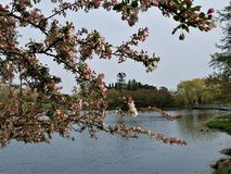 Crabapple blossoms Frame the Carillon stock images
