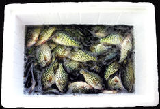 Spring Crappie Catch. A Styrofoam cooler full of a days catch of crappies Stock Images