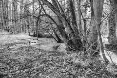 Spring on creek, snowdrops, black and white Stock Photography