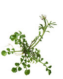 Spring Cress Flower Royalty Free Stock Photography