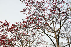 Spring crimson kapok flowers. Lot of crimson kapok flowers in full bloom dotted thickly on the ceiba tree,beautiful curving twigs and branches Stock Photo