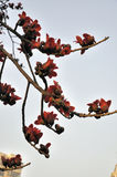 Spring crimson kapok flowers. Lot of crimson kapok flowers in full bloom dotted thickly on the ceiba tree,beautiful curving twigs and branches Stock Photos