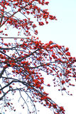 Spring Crimson kapok flowers. A lot of crimson kapok flowers in full bloom dotted thickly on the ceiba tree,beautiful curving twigs and branches Stock Images