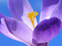 Spring crocus Stock Photography