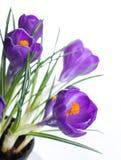 Spring crocus Stock Photos