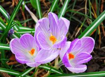 Spring crocus Royalty Free Stock Images