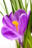 Spring Crocus. Isolated shot of a purple crocus stock photography