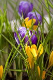 Spring Crocus. Spring flowers, yellow and violet crocus Stock Image
