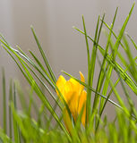 Spring Crocus. Spring flowers, yellow and violet crocus Royalty Free Stock Photos