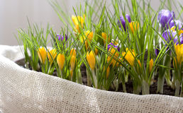 Spring Crocus. Home decoration, spring flowers in a pot Royalty Free Stock Image