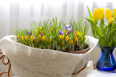 Spring Crocus. Home decoration, spring flowers in a pot Royalty Free Stock Photo